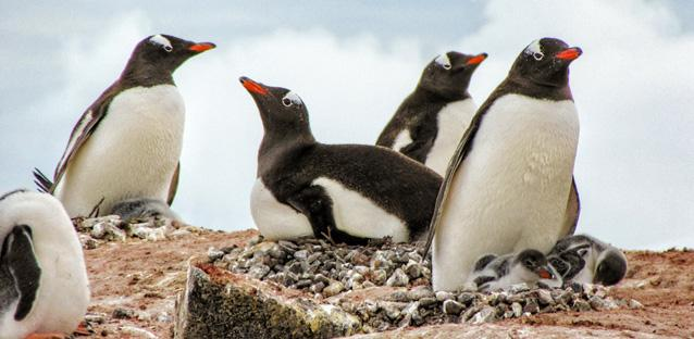 Gentoo penguins hover over their chicks, resting on nests constructed from small pebbles.