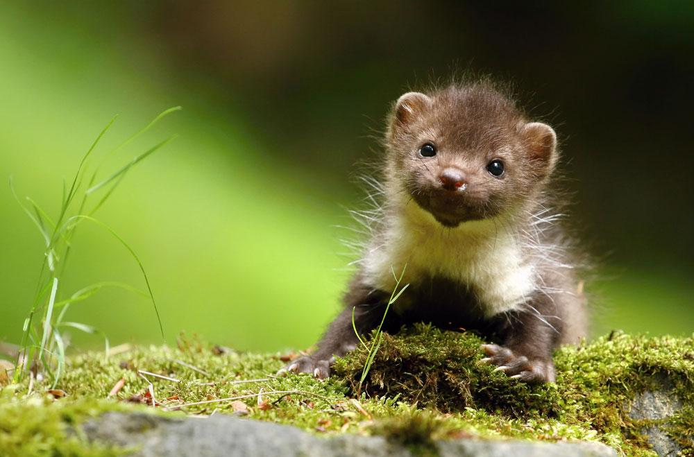 Why are all baby animals so cute?! This marten baby is the cutest.