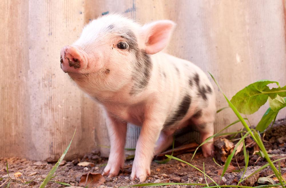 Why are all baby animals so cute?! This piglet baby is the cutest.