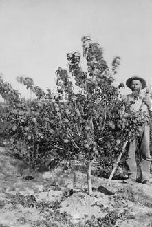 Farmer In His Orchard