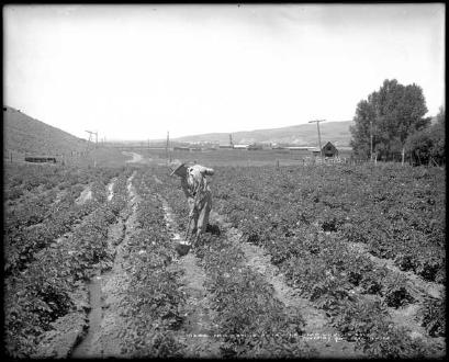 Irrigated Potato Farm (1908)