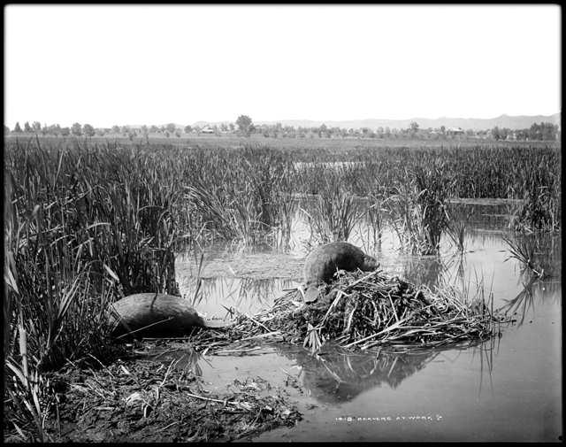 Beaver In A Plains Stream