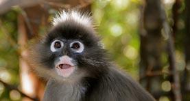 Spectacled Langur Monkey