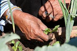 Hands pulling weeds