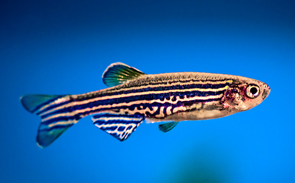 Andrea James's zebrafish eye development research