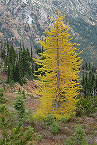 Example of a European Larch tree that's part of the Central Campus Tree Tour.