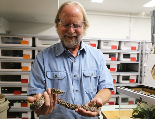 Dr. Steve Mackessy holding one of his nonvenomous snakes in his lab at UNC.