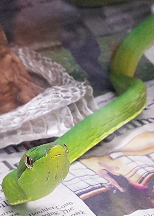 Green Vinesnake