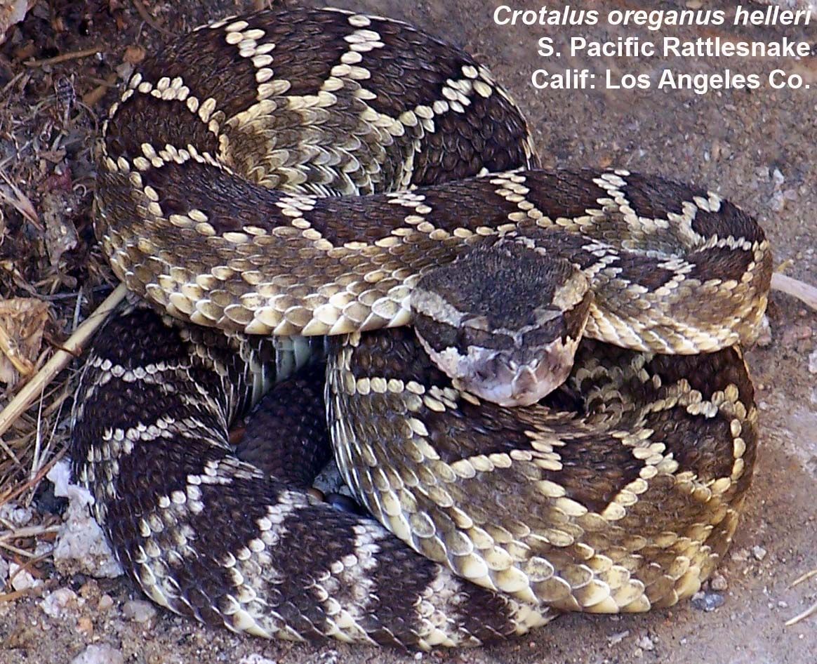 Midget faded rattlesnake protection in colorado — photo 12