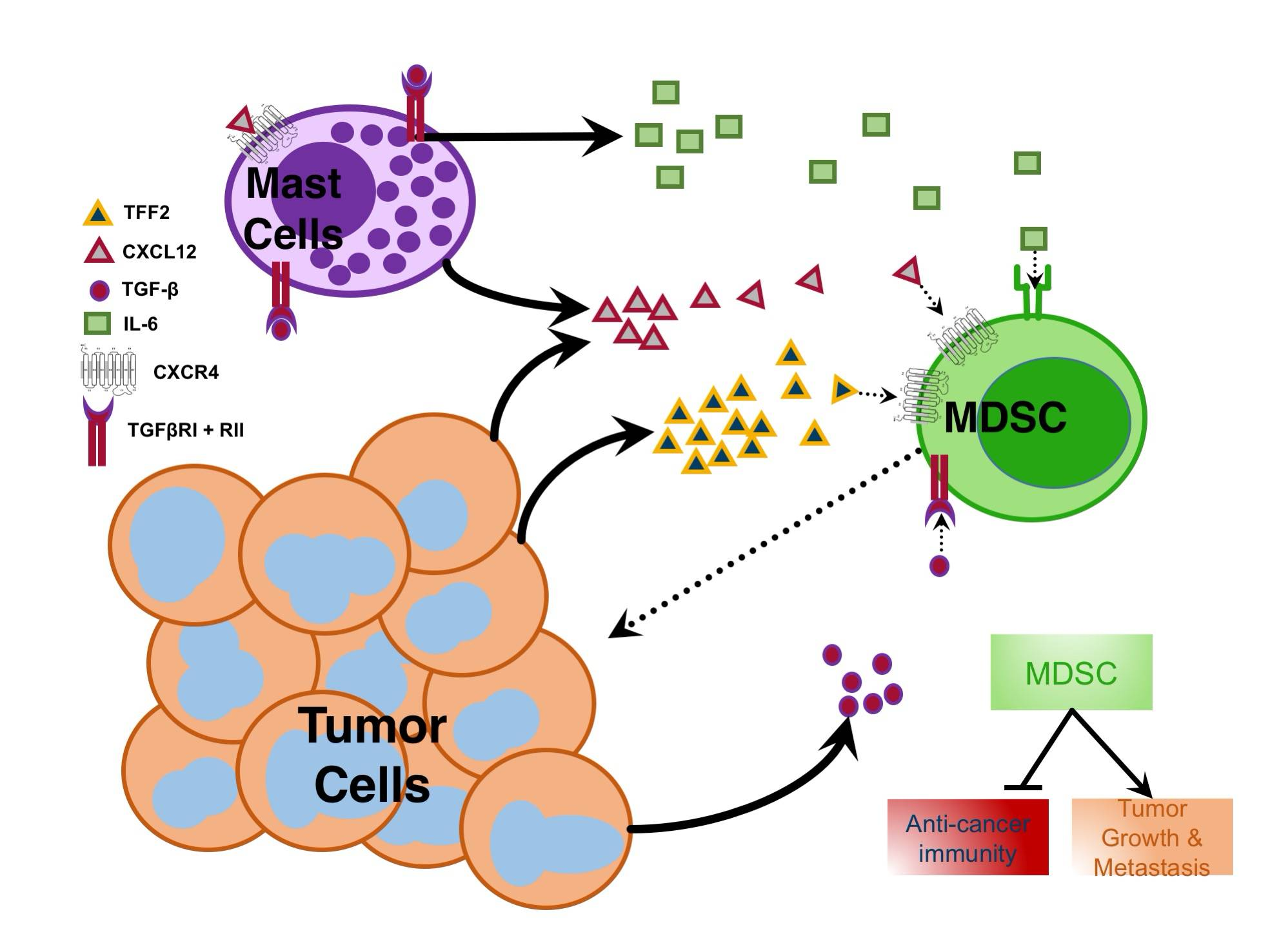 Mast Cells Myeloid Derived Suppressor Cells and Cancer