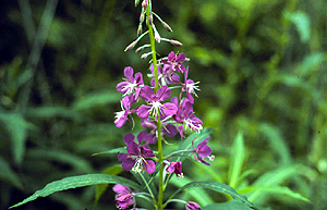 Fireweed (Chamerion angustifolium) plant in the herbarium